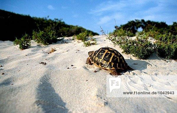 Hermann´s Landschildkröte (Testudo Hermanni). Mallorca  Balearen. Spanien