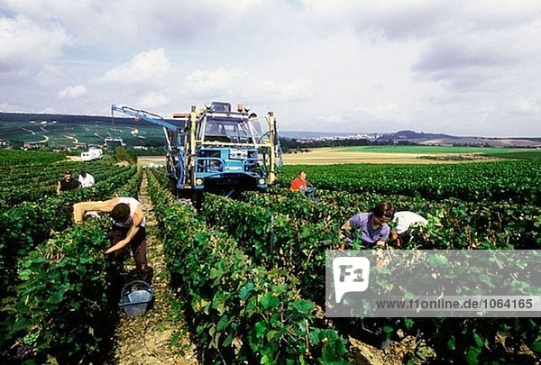 Chardonnay-Trauben Ernten im Herbst in Weinbergen. Champagne. Frankreich