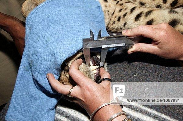Betrieb über eine cheetah