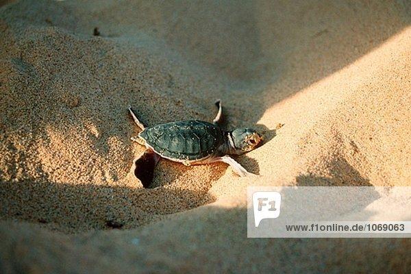 grün Meer Landschildkröte Schildkröte Heiligtum Brasilien grün,Meer,Landschildkröte,Schildkröte,Heiligtum,Brasilien