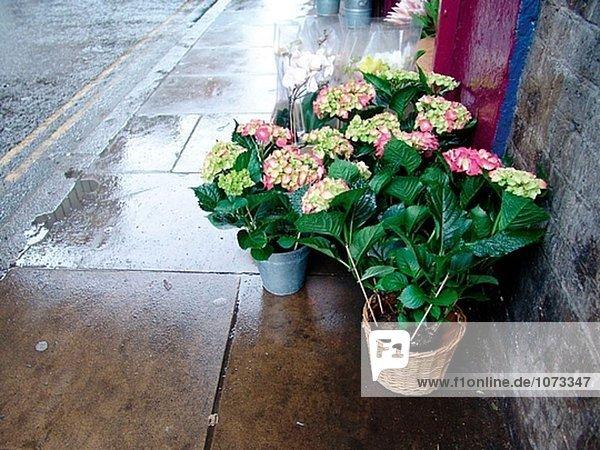 Töpfe von Hydranges an ein Blumengeschäft auf einem nassen Straße in London