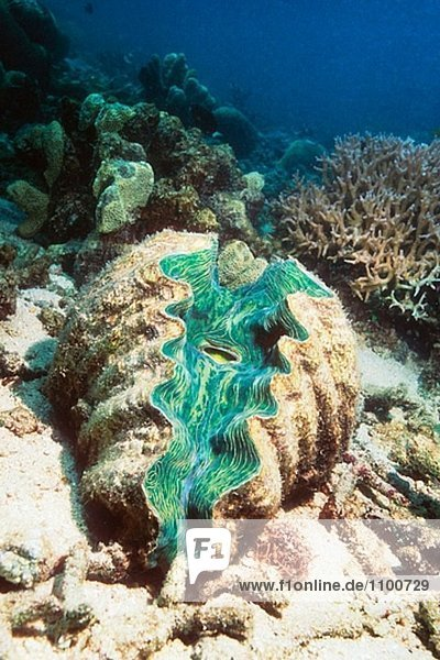 Tevoroa giant Clam (Tridacna Tevoroa). Great Barrier Reef  Australien