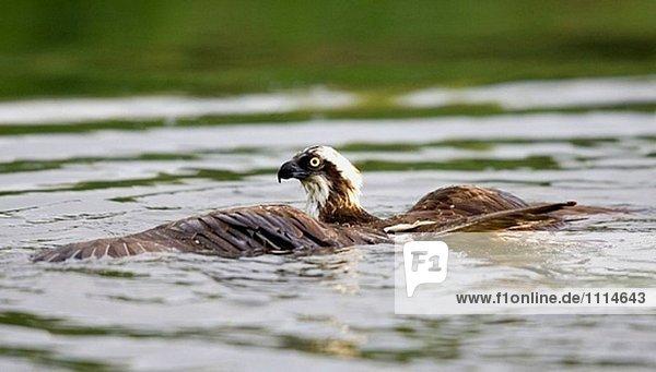 Osprey (Pandion Haliaetus). Finnland