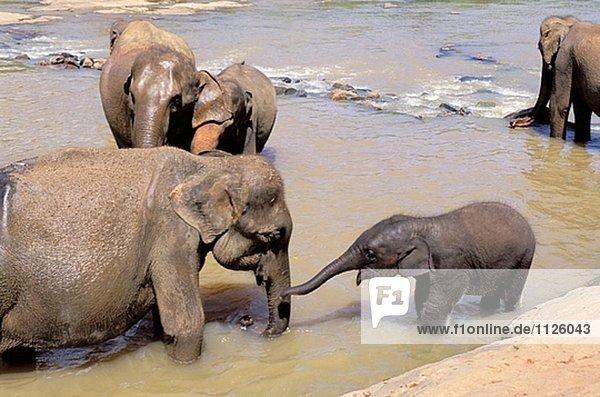 Elephant Waisenhaus in Pinnewala. Sri Lanka