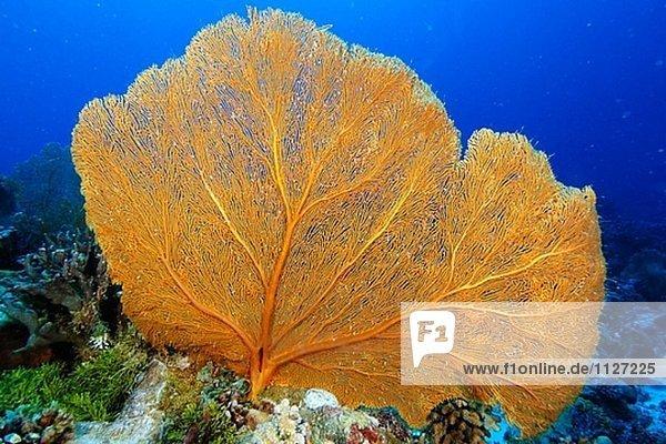 Fan Coral (Subergorgia sp.). Namu Atoll  Marshallinseln (Pazifik)
