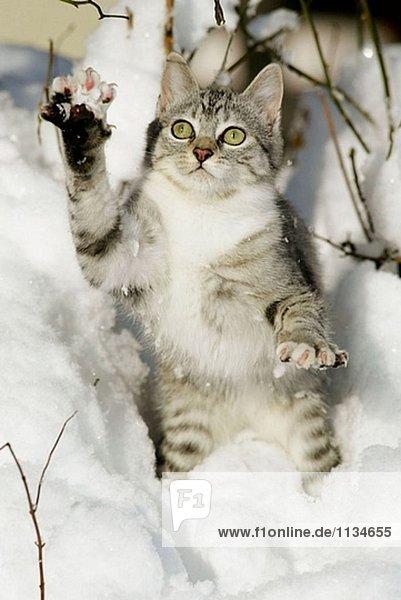 Hauskatze  Katzenjunges