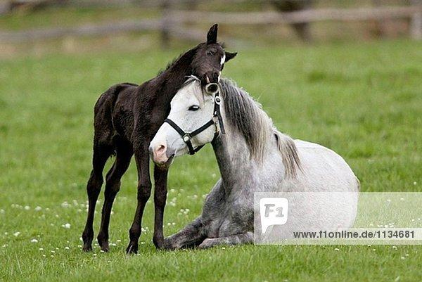 German Pony  foal