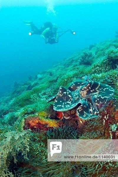 Weibliche Scuba Diver  Meer Apple (Pseudocolochirus Violaceus) Alor  Indonesien
