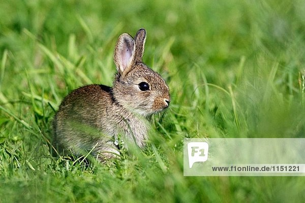 Jungen Kaninchen (Oryctolagus Cuniculus) Jungen Kaninchen (Oryctolagus Cuniculus)
