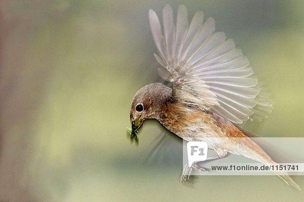 Allgemeine Gartenrotschwanz (Phoenicurus Phoenicurus) weiblich