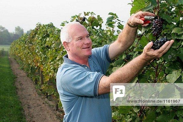 Karma Vista Vineyards and Winery  White male  harvesting grapes. Coloma. Michigan. USA.