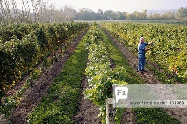 Karma Vista Weinberge und Weingut  prüft weißer Mann Trauben. Coloma. Michigan. USA.