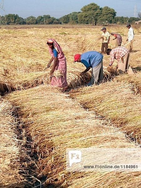 Landarbeiter ernten Reis auf Farm in der Nähe von Kathwada. Gujarat. Indien