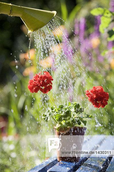 Gießen von Topfpflanzen