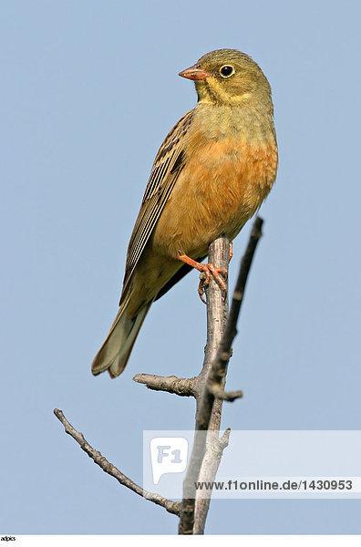 Nahaufnahme der Vogel Zweig hocken
