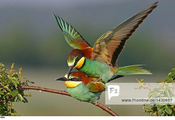 paarungszeit der vögel