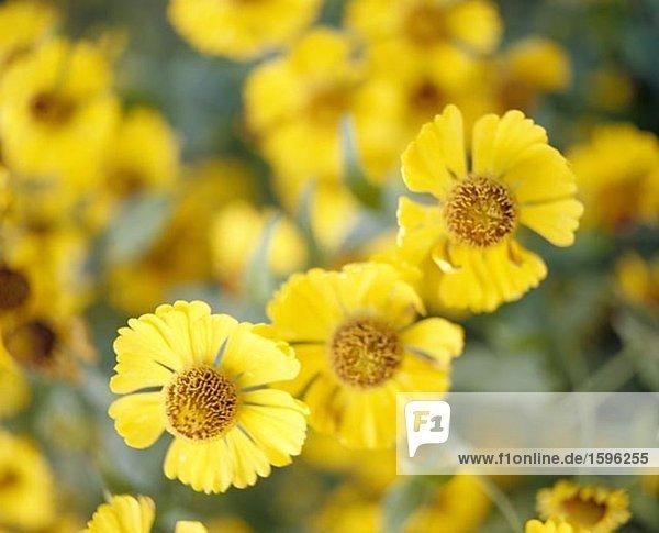 Gelben Blüten.