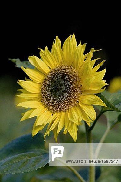 Eine Sonnenblume.