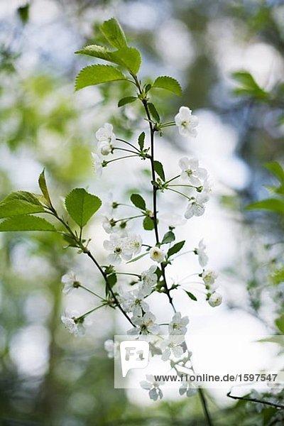 Cherry-Blossom Nahaufnahme Schweden.