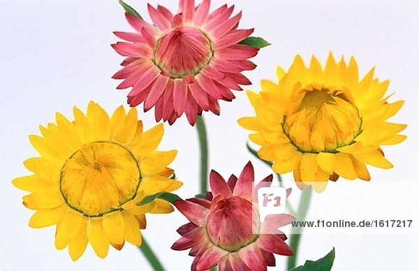 Helichrysum bracteatum