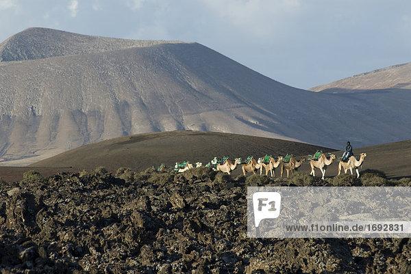 Dromedar Kamele zu Fuß in der Wüste