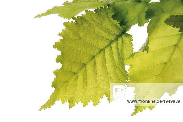 Ulmenblätter (Ulmus Americana) vor weißem Hintergrund  Nahaufnahme