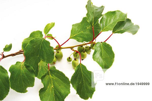 Kiwifrüchte auf Zweig  Nahaufnahme