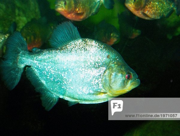 Fisch Pisces