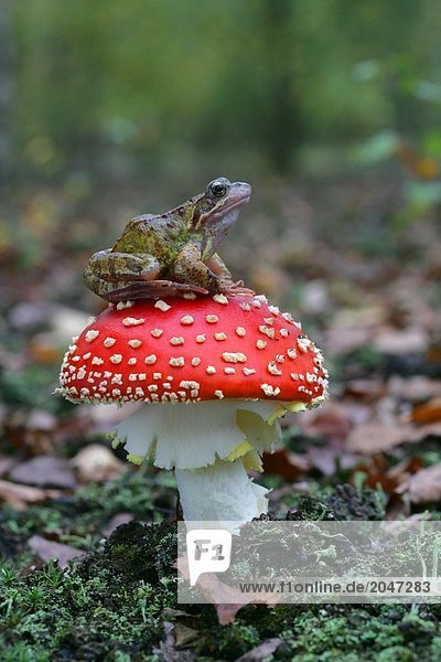 8900125202H,Amphibie,Fauna,Fliegen-agaric,Frosch