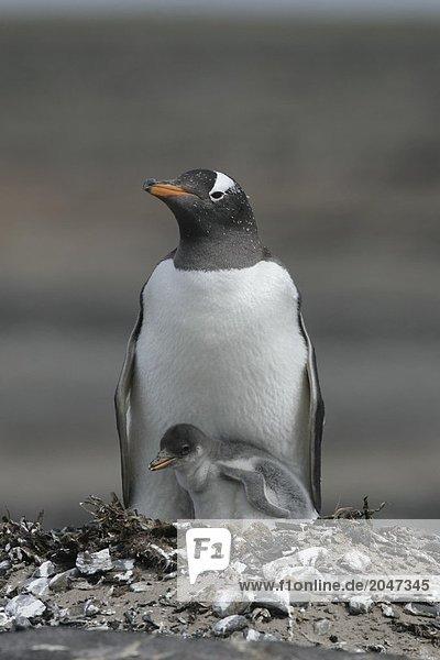 8900177901M,Amerika,Erwachsene,Falklandinseln,Fauna