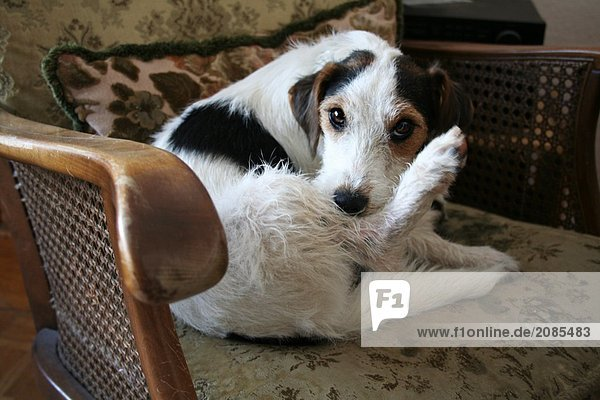 Nahaufnahme der Hund im Sessel sitzen