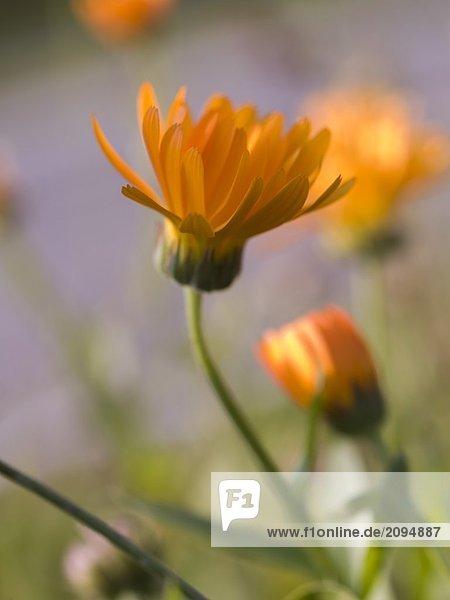 Nahaufnahme der Ringelblume und bud