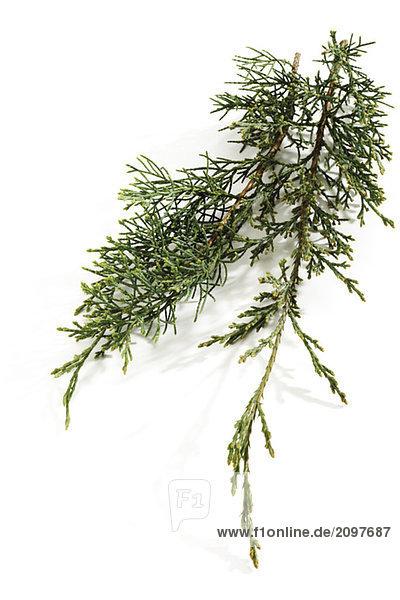 Wacholder (Juniperus)  Nahaufnahme