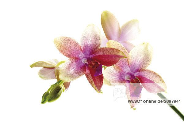 Orchideen  Nahaufnahme