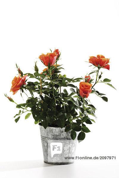Orangene Rosen im Pflanztopf  Nahaufnahme