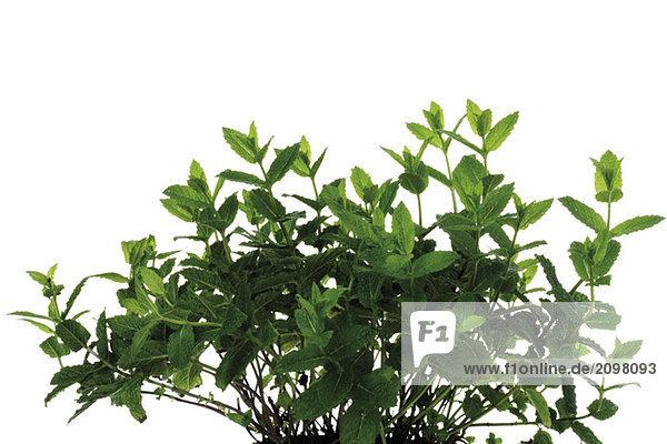 Bund Minze (Mentha spicata var. crispa)  Nahaufnahme