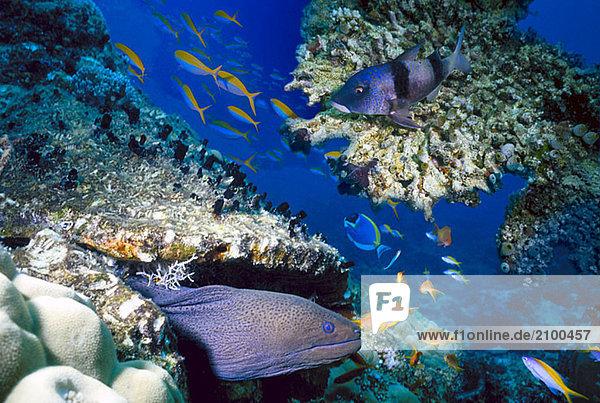 Riesen-Muräne Fischschwarm