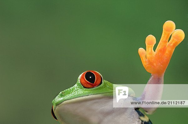 Red-eyed Tree Frog. Tropical rainforest frog from Central America.