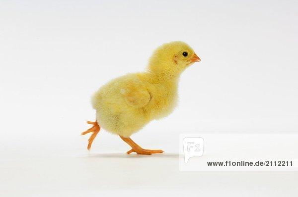 Yellow Chick. Baby Chicken. Yellow Chick. Baby Chicken.
