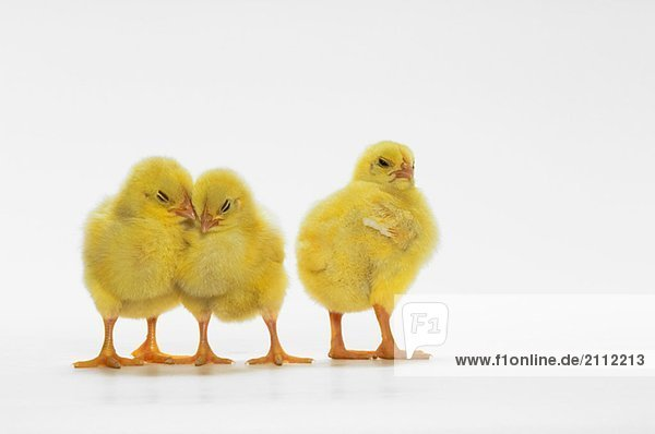 Yellow Chicks. Baby Chickens. Yellow Chicks. Baby Chickens.
