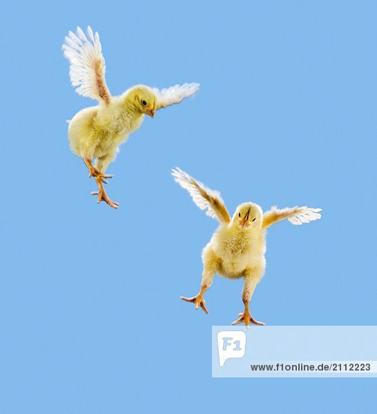 Yellow Chick. Baby Chicken. 'Flying'.