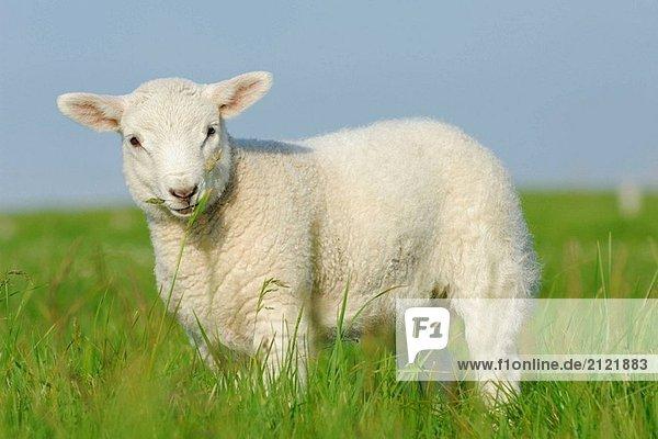 HAUSSCHAFE (Ovis Aries)  Lamb. Festland  Orkney-Inseln  Schottland. HAUSSCHAFE (Ovis Aries), Lamb. Festland, Orkney-Inseln, Schottland.