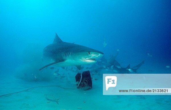 Tiger Shark  Galeocerdo Cuvier  Bahamas  Grand Bahama Island  Atlantik