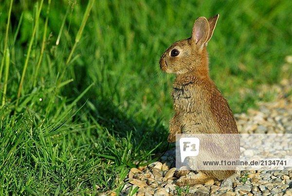 Kaninchen  Bayern  Deutschland  Mai Kaninchen ,Bayern ,Deutschland ,Mai