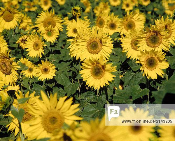 Sonnenblumen. Osuna  Sevilla Provinz. Spanien