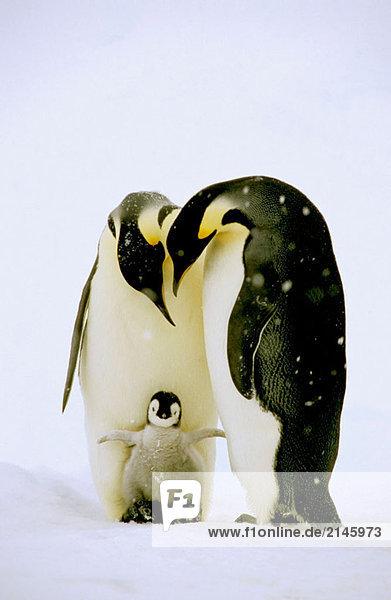 Kaiserpinguin (Aptenodytes Forsteri). Dawson-Lambton Gletscher  Antarktis  Dezember Kaiserpinguin (Aptenodytes Forsteri). Dawson-Lambton Gletscher, Antarktis, Dezember