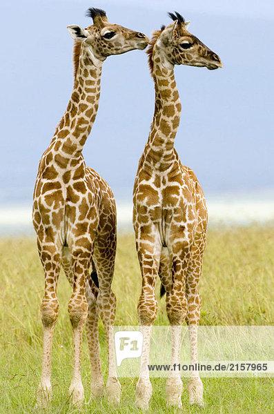 Zwei Neugeborenen Masai Giraffen auf der Masai Mara  Kenya Zwei Neugeborenen Masai Giraffen auf der Masai Mara, Kenya