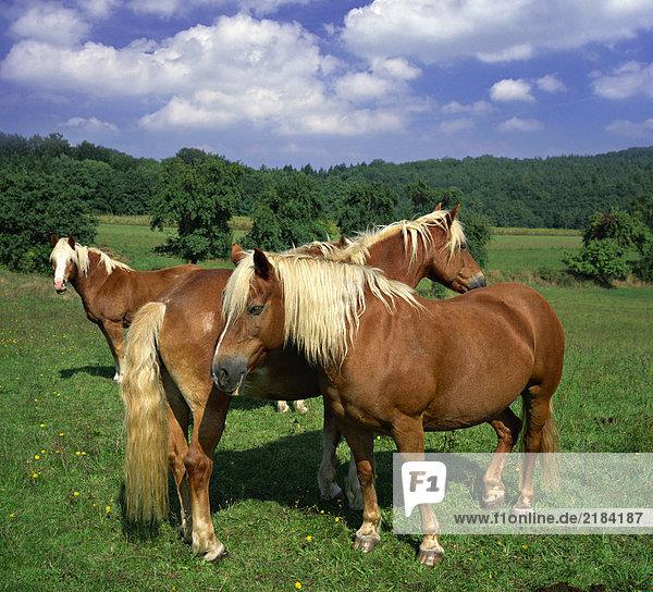 Pferde im Feld