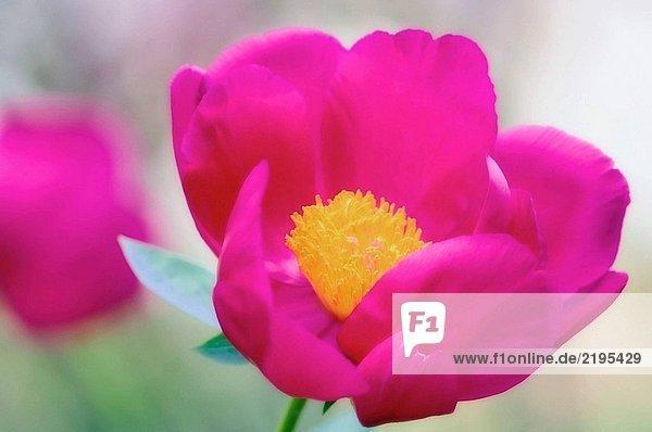 Hell rosa Pfingstrose. Paeonia Lactiflora. Mai 2005  Maryland  USA