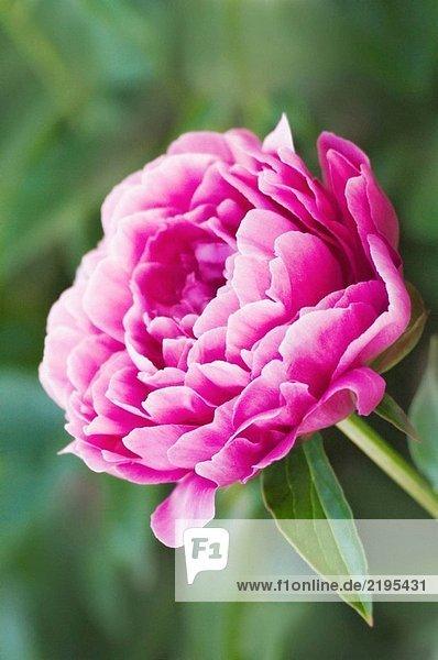 Pink Peony. Paeonia Lactiflora. Mai 2005  Maryland  USA
